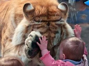 tiger meets baby