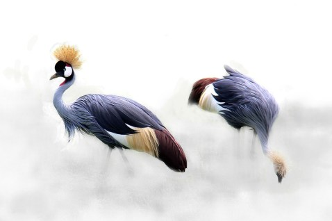 grey-crowned-crane-610463_960_720