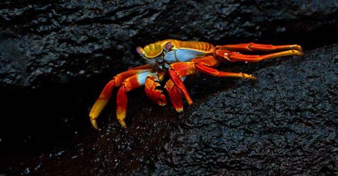 Galapagos Sally Lightfoot by Max Ruckman