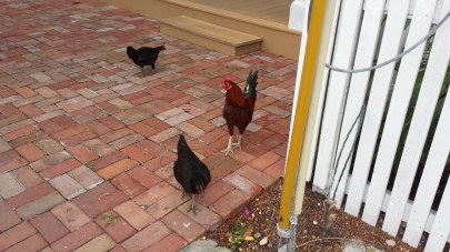 KEY WEST HAS SO MANY CHICKENS AND I LOVE THEM ALL. A rooster actually ran a good quarter of a mile with us in one of the parks.
