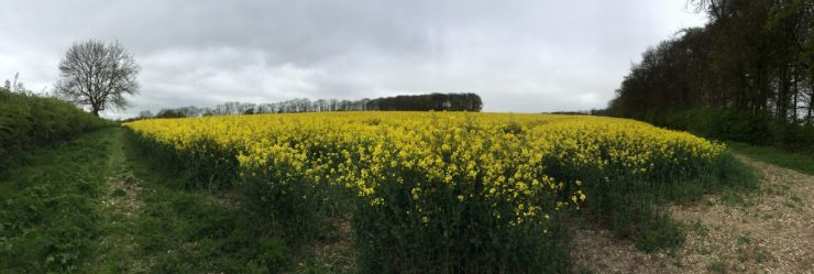 Bishop Wilton - Yellow Fields in England