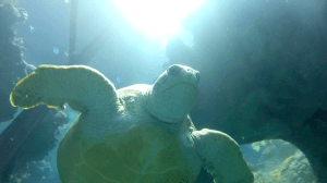 This is Myrtle the Turtle. She lives at the New England Aquarium in Boston, MA. Courtesy of Boston CBS.