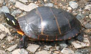 Eastern Painted Turtle. Courtesy of the Virginia Herpetological Society.