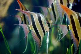 Freshwater Angelfish - courtesy of Wikipedia