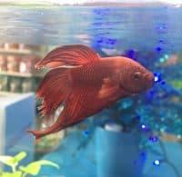 A happy betta in his tank