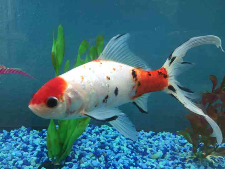 Why does my goldfish float after eating?