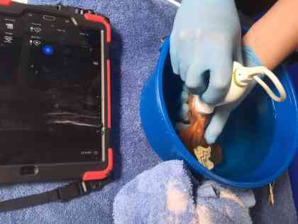 Ultrasound on a fancy goldfish