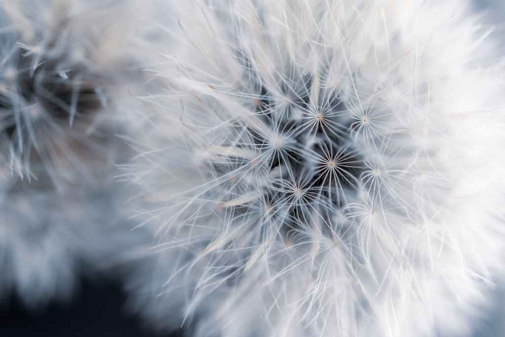 close up photo of two dandelions