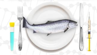 genetically-engineered-salmon