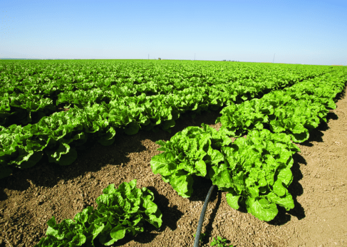Lettuce California USDA