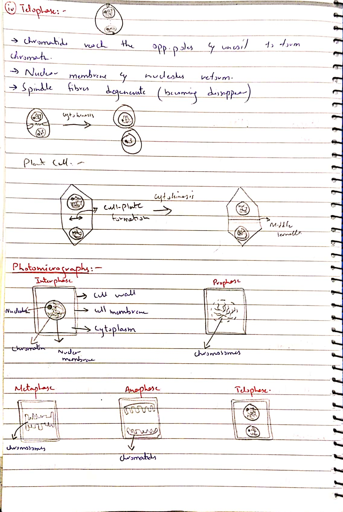 mitotic cycle._6