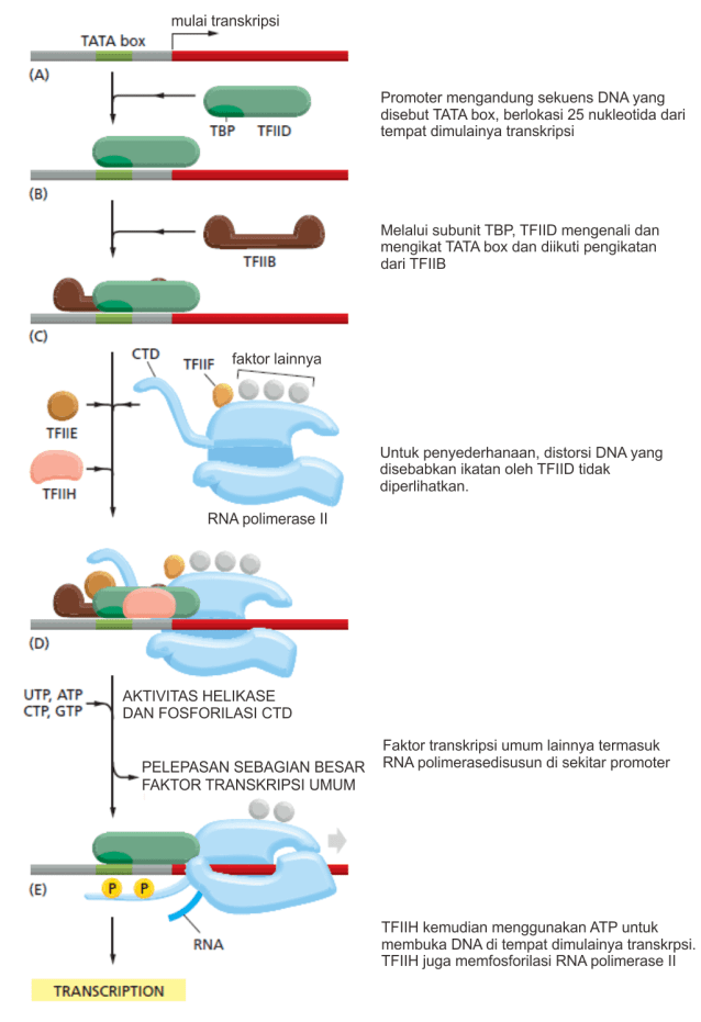 Inisiasi transkripsi DNA pada eukariota