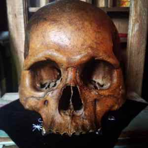 skull freshly rubbed with herbal bone balm for care of bone ornaments