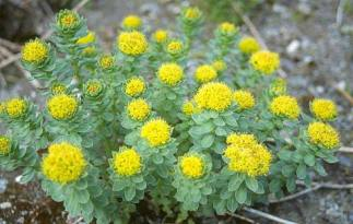 rhodiola rosea - 'Lus nan Laoch' - the hero's plant - herbs for resistance