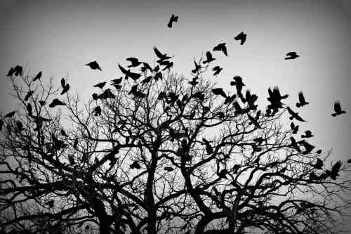 a picture showing the crows by Greg Fallis. Its demonstrates a corvid filled sky as told in the meeting about the Woven Land Network.