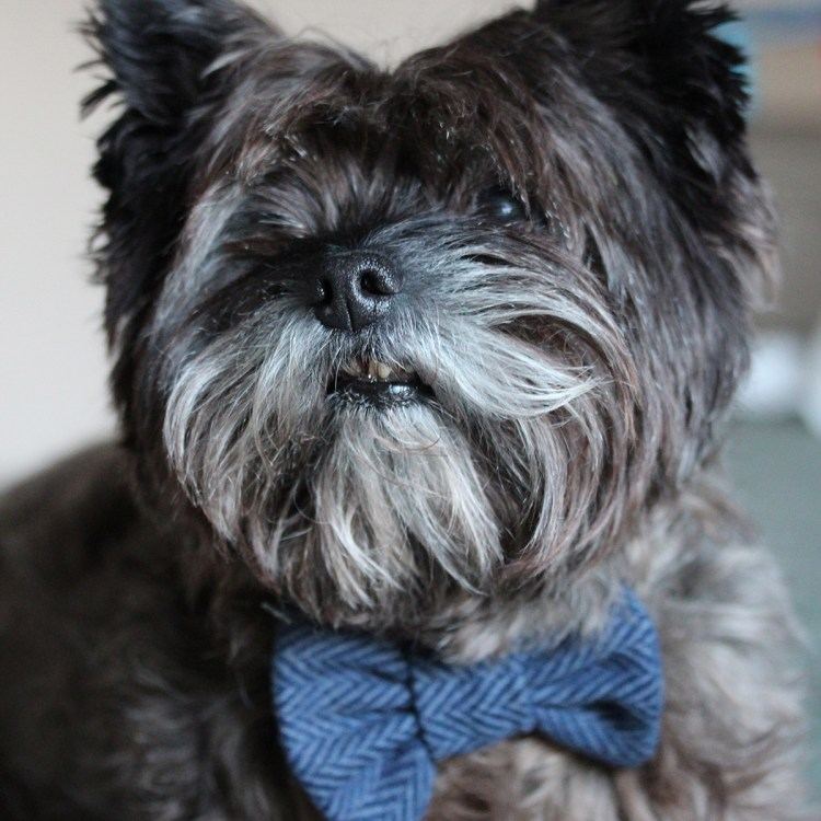 Navy Blue Tweed dog bow tie on a Cairn Terrier