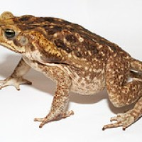 Living in Cairns with Cane Toads