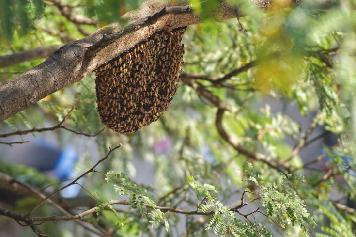 Wild bee hive in a tree