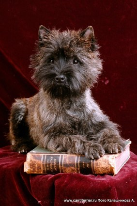 cairn terrier elivs Eestiless A'Glamour Bee