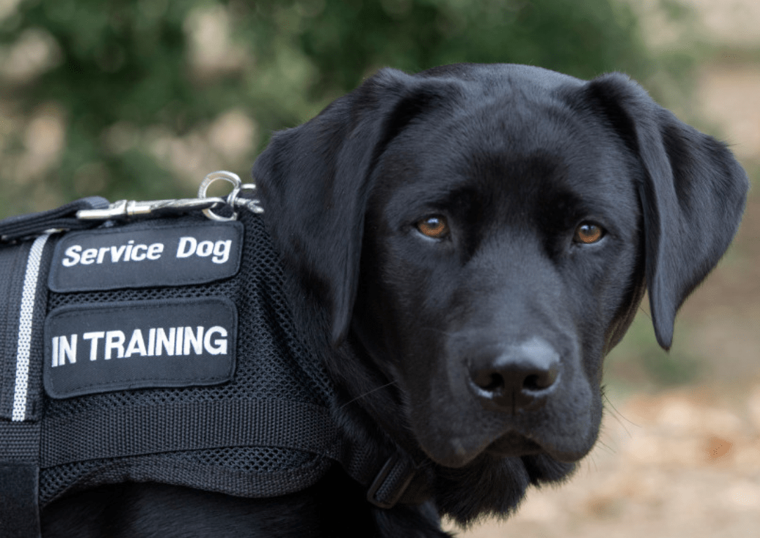 Why Service Dogs Can Go Anywhere.