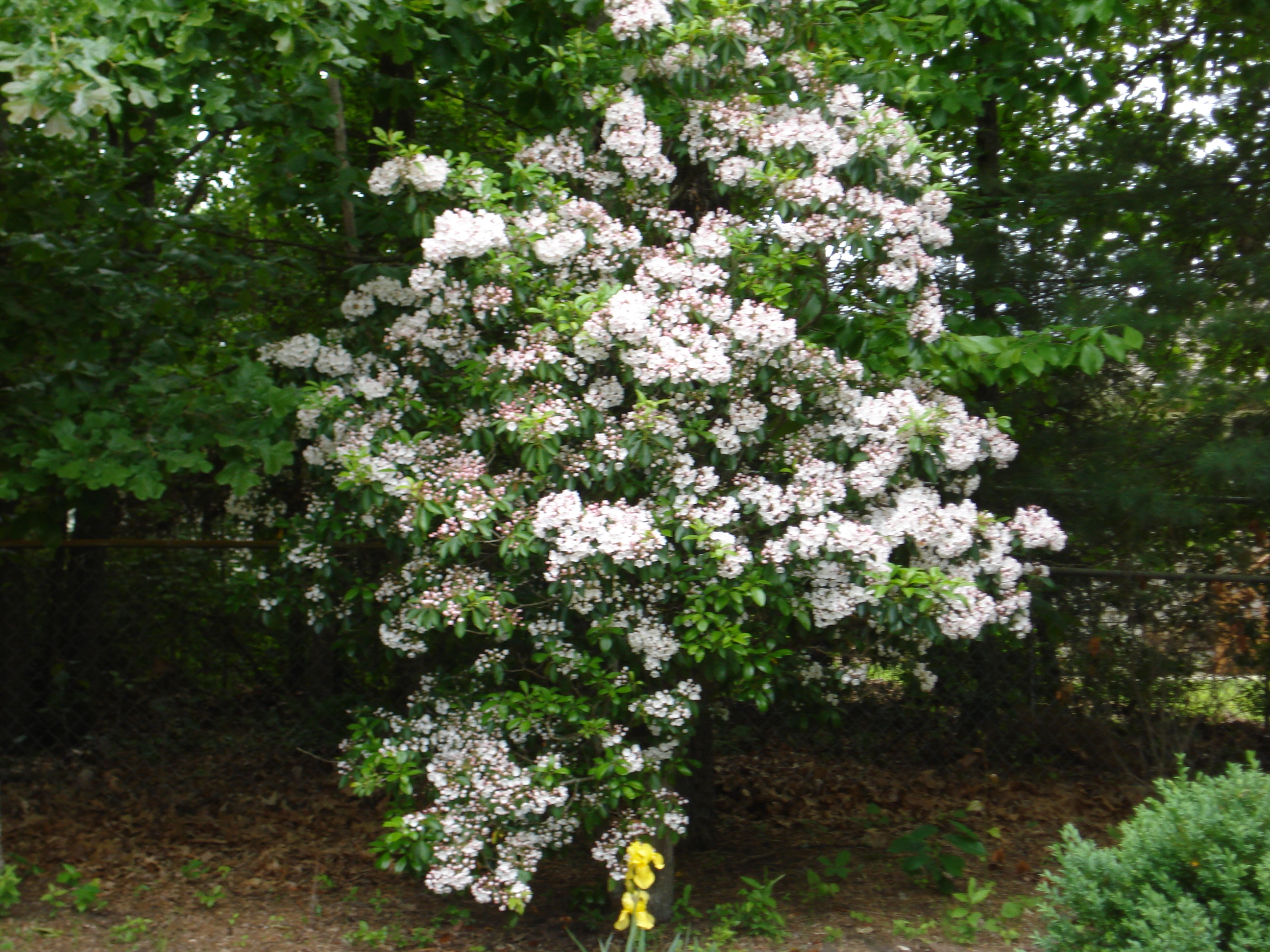 Mountain Laurel09.jpg
