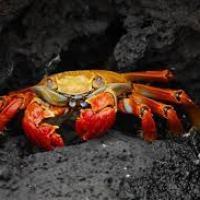 El ruido de los barcos agobia a los cangrejos