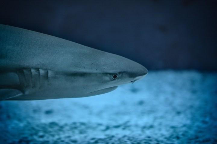 Great White Shark Swimming in Ocean
