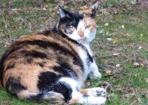 kucing hamil melahirkan