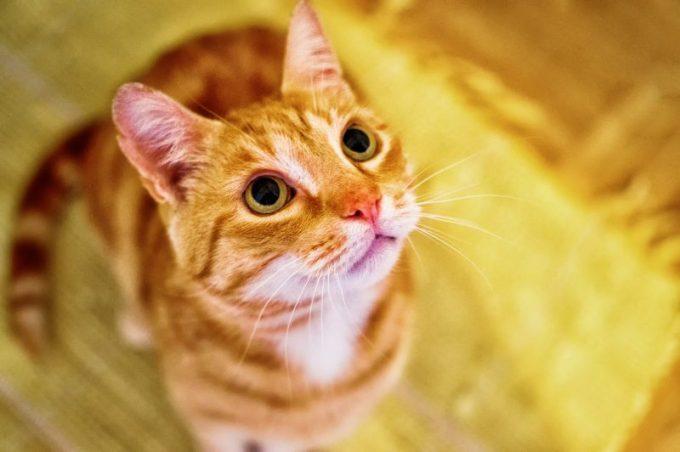 kucing mengeong,