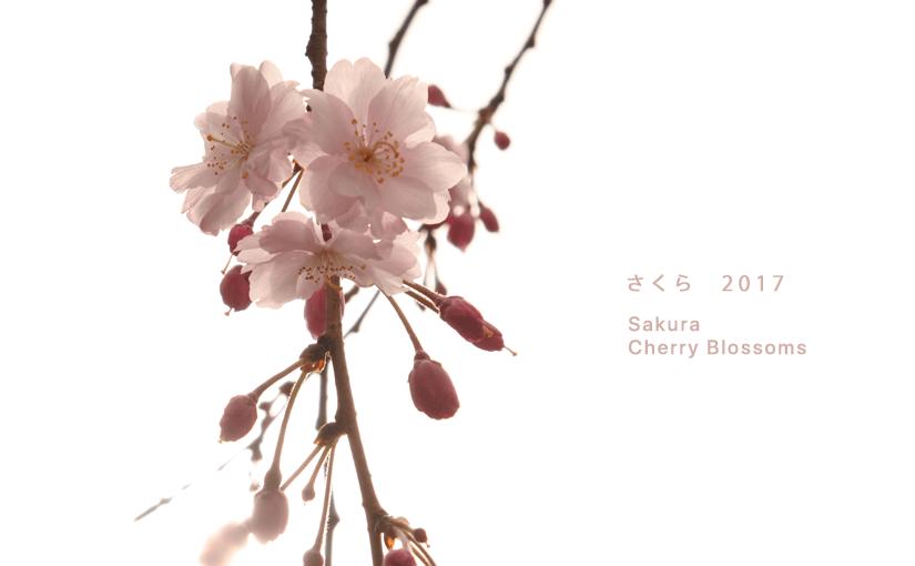 さくらの壁紙できました。透明感のある枝垂れ桜と染井吉野の壁紙です。