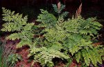 Osmunda Regalis, Christian Fischer [CC BY-SA 3.0 (http://creativecommons.org/licenses/by-sa/3.0)],