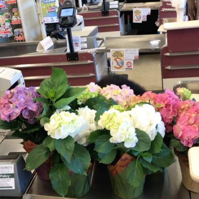 Pretty Hydrangeas and a perky cashier! #calandrosmkt #plants #perkins