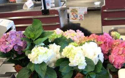 Pretty Hydrangeas and a perky cashier! #calandrosmkt #plants #perkins