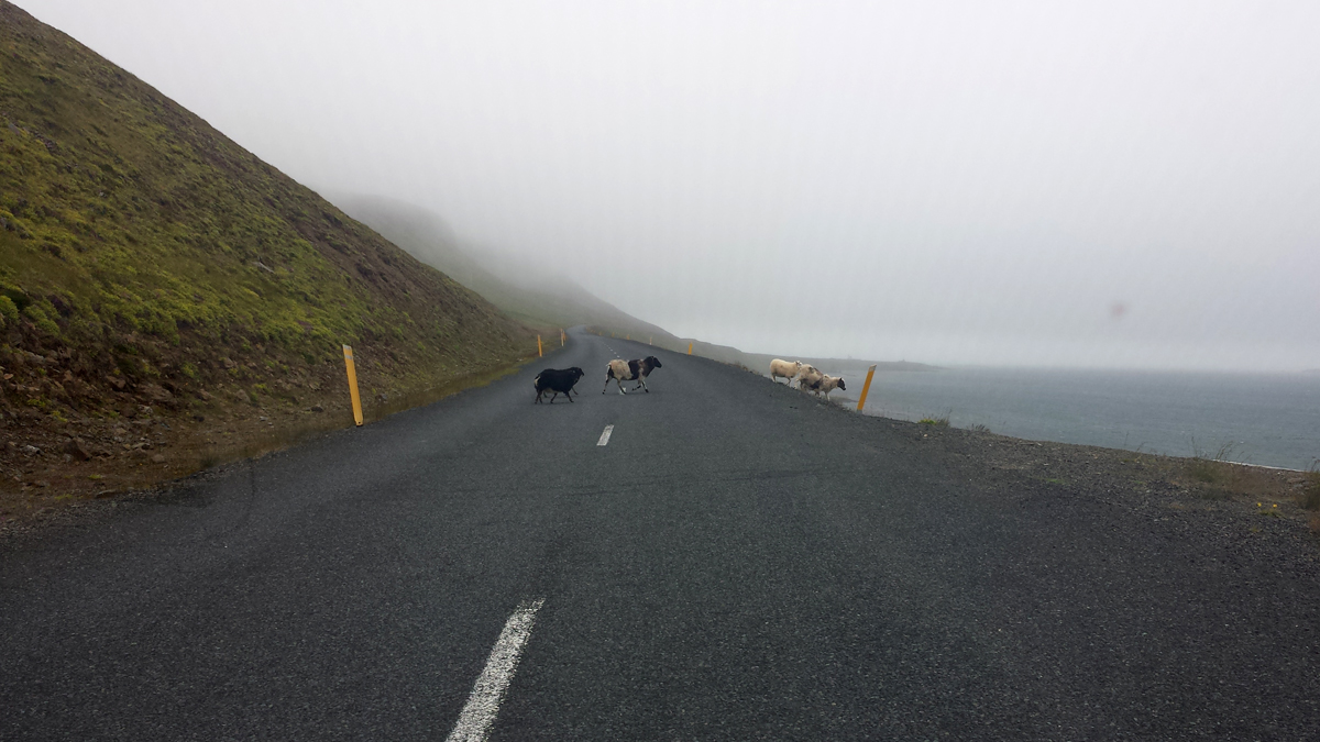 Sheeps on the road Iceland