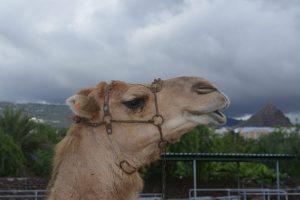 Camel Park in Tenerife