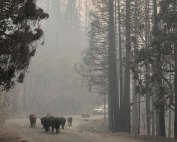 Moving cows home after fire