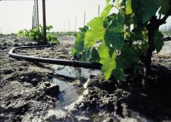 Drip irrigation on grapes in CA (Source: NRCS)