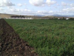 Cover crops at Pinnacle Organic increase soil organic matter.