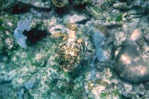 DSCF2148 hawsbill turtle