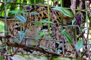 jaguar hiding