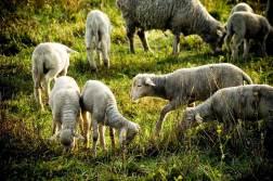 promenade-caleches-camargue-moutons