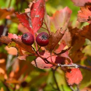 Fall Colours Photography Hike - Berries