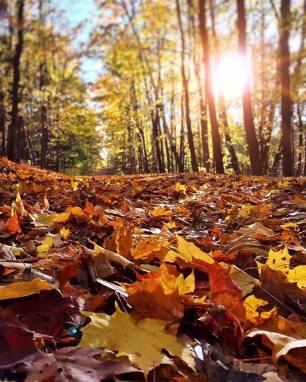 Sunlit Fallen Leaves