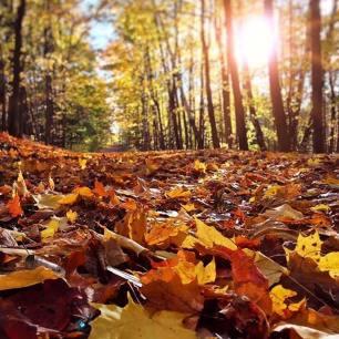 Sunlit Fallen Leaves
