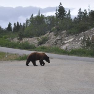 Bear in Yukon