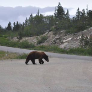 Bear in Yukon