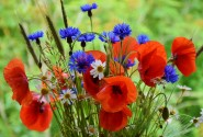 We want to keep the Poppies! (Nous voulons des Coquelicots) @  |  |  |