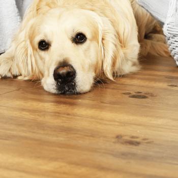 Dog laying near dirty paw prints on wood flooring.