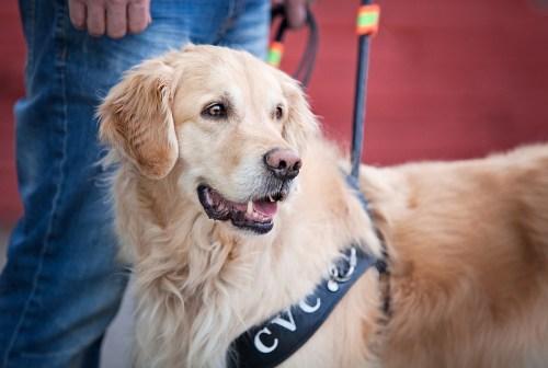golden_retriever_profile_photo_guide_dog