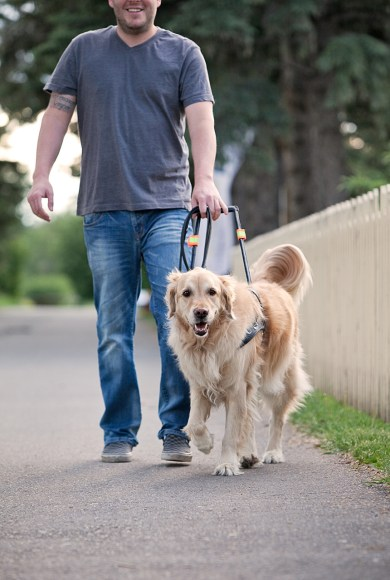 guide_dog_walking_with_guardian